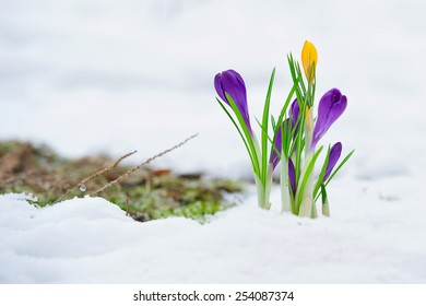 Delicate crocus flowers in the snow