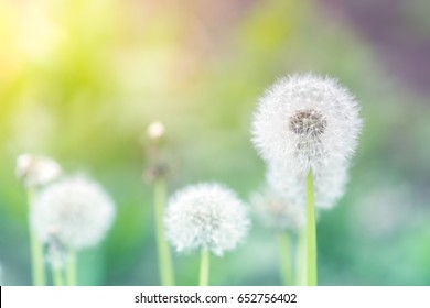 Delicate dandelions on a beautiful background . Dandelions with sunlight. Selective focus.