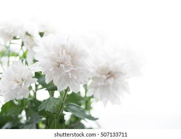 Delicate elegant white chrysanthemum on the white. A lot of light