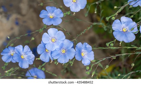 Delicate flax flowers