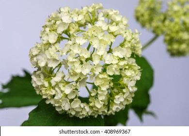 Delicate flower white hydrangea isolated on light background.