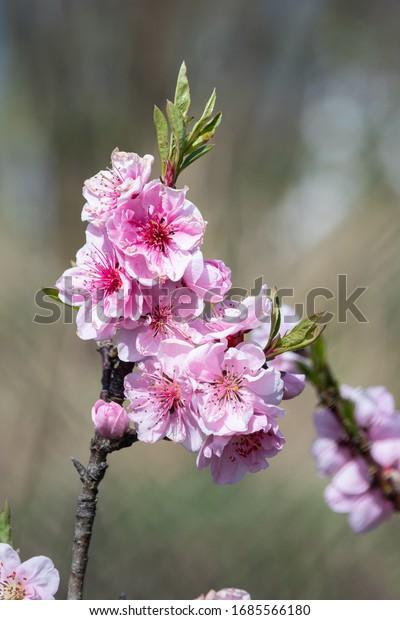 delicate-flowering-dwarf-peach-early-600