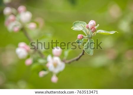 834908e7b Delicate Flowers Apple On Green Background arkivfoto (rediger nå ...