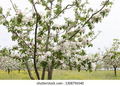 Delicate flowers of a cherry tree in field.