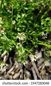 delicate flowers of Danish scurvygrass in the wild