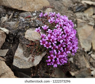 Delicate flowers of saxifrage (Saxifraga oppositifolia) growing on stones in high Arctic of Franz Josef Land archipelago