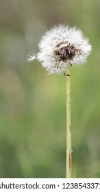 delicate fluffy dandelion flower on the current of the stalk and a blurry green background and fuzzy seeds want to fly away