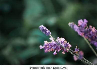 delicate, fragrant flowers of purple lavender in a field