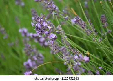 Delicate fragrant lavender in the garden.
