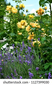 Delicate fragrant lavender and yellow roses in the park. Morshyn, Ukraine.