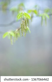 Delicate green leaves and blossoms of a hornbeam tree in spring, background image, selective focus