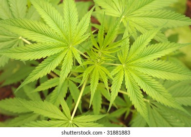 the delicate green leaves of a marijuana plant