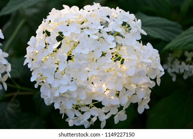 Delicate hydrangea flowers are illuminated by the sun in the garden.