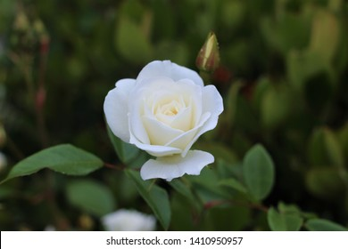 The delicate Iceberg rose is considered one of the best white flowera for a garden, with a sweet light fragrance and gently layered petals, it is perfect for creating stunning bouquets.