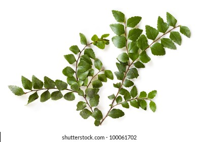 Delicate leaves of the ancient myrtle beech tree, isolated over white.  Nothofagus cunninghamii, found in the cool temperate rainforests of southern Australia.