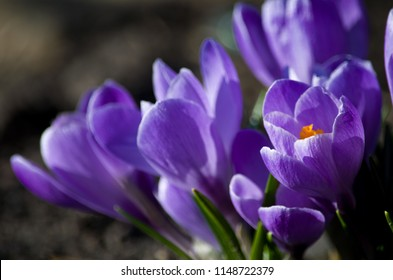 Delicate lilac crocuses
