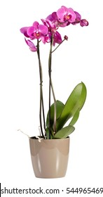 Delicate long stemmed spray of magenta pink phalaenopsis orchids growing in a pot for indoor decor, over a white background