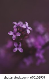 Delicate macro of tiny spring purple lilac blooms