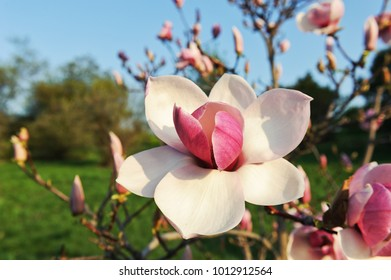 delicate magnolia flowers
