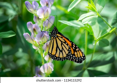 delicate monarch butterfly perched on a purple flower
