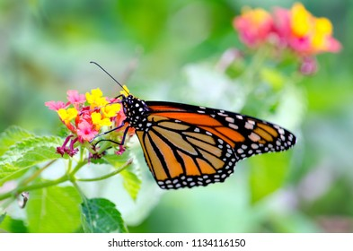 A delicate monarch butterfly rests on a colorful flower of yellow and pink