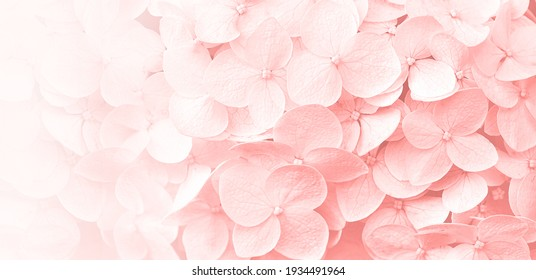 Delicate natural floral background in light pink pastel colors. Hydrangea flowers in nature close-up with soft focus.