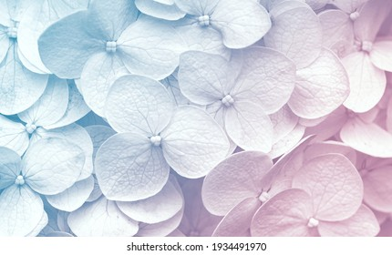 Delicate natural floral background in light blue and violet pastel colors. Texture of Hydrangea flowers in nature with soft focus, macro.