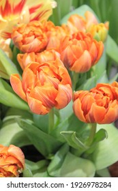 delicate orange bouquets tulips. bright background. composition in a metal bucket
