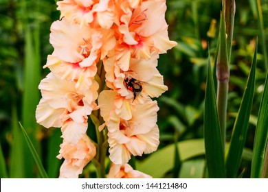 delicate orange gladiolus and fluffy bumblebee in the garden in summer