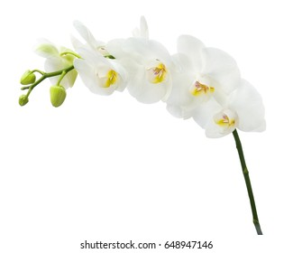 Delicate orchid branch blossoming with large white flowers isolated.