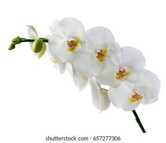 Delicate orchid branch blossoming with large flowers isolated on white background. Blooming twig of Phalaenopsis.