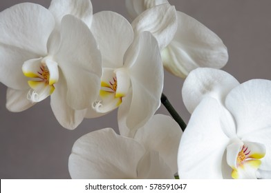Delicate orchid flowers and the large neutral background Phalaenopsis orchid.