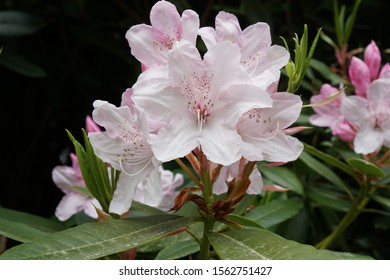 Delicate Pale pink Rhododendron flower