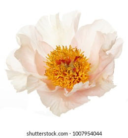 Delicate peony flower isolated on white background.