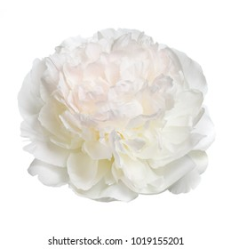 Delicate peony isolated on white background.