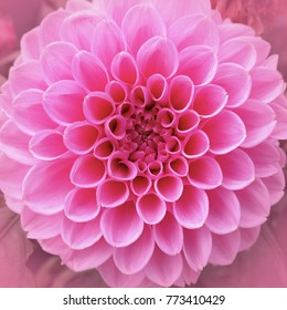 Delicate petals of a pink round flower close-up, natural texture and rhythm