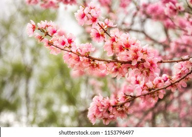 Delicate pink cerry blossoms on a dappled light bokeh background at the Spring Floriade Festival in Canberra, Australian Capital Territory, Australia.