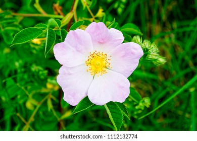 A delicate pink Dog Rose, in full bloom, growing in a hedgerow in the summer sunshine.
