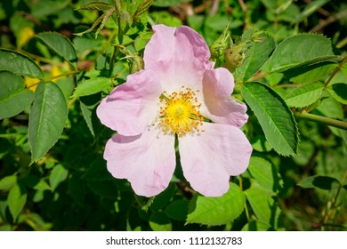 A delicate pink Dog Rose  growing in a hedgerow in the summer sunshine.