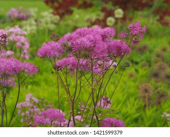 Delicate pink flowers of greater meadow-rue (Thalictrum aquilegiifolium) flowering in a garden