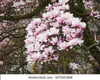 Magnolia Bush Images Stock Photos Vectors Shutterstock
