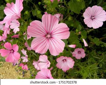 Delicate pink flowers of mallow. Malva alcea (greater musk-mallow, cut-leaved mallow, vervain mallow or hollyhock mallow) . - Shutterstock ID 1751702378