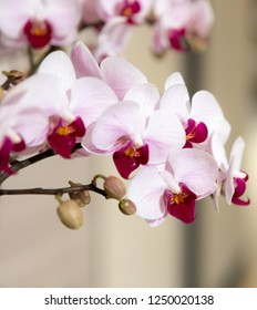 Delicate Pink Orchids on Display at Botanic Gardens in Singapore