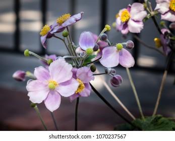 Delicate pink Prairie Rose