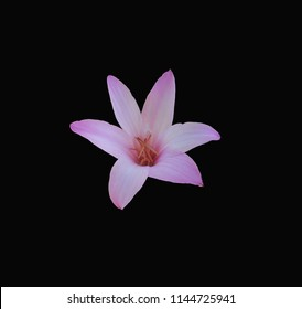 Delicate pink rain lily centered on a dramatic black background