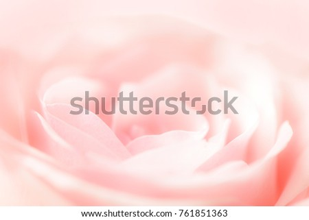 Delicate pink rose close up blurred abstract background