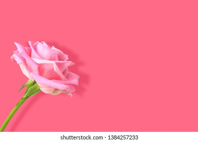 delicate pink roses isolated on pink background