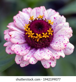 Delicate pink zinnia on a green background. Gardening, hobby.