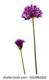 delicate purple blossoms of allium isolated on white background