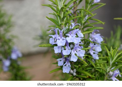 Delicate purple flowers of a rosemary shrub Salvia rosmarinus